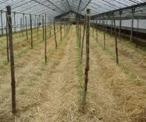 Pacciamatura naturale orto con paglia-pomodori