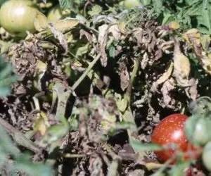 Attacco di Peronospera del pomodoro
