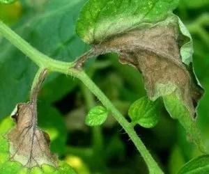 Peronospora del pomodoro - foglia disseccata dopo attacco di peronospora