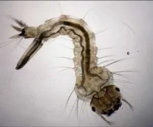 bacillus thuringiensis israelensis -insetticida biologico-larva di zanzara tigre