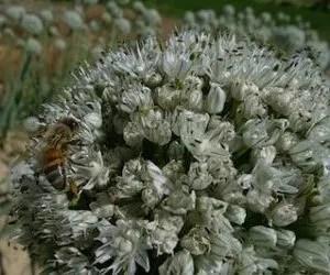 Coltivare cipolle – dettaglio fiore di cipolla dal quale si ottiene il seme