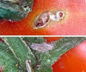Danni sul calice e sul frutto del pomodoro