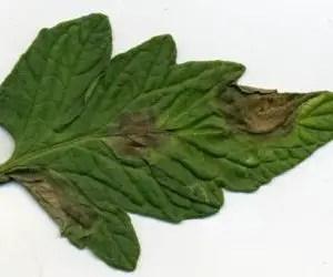 Attacco iniziale di peronospora del pomodoro