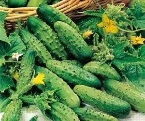 coltivare cetrioli-cetriolo varietà piccolo di Parigi