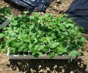 Coltivare cetrioli - seminiera di cetrioli pronta per il trapianto