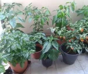 Coltivare peperoncini - piante di peperoncino sul balcone