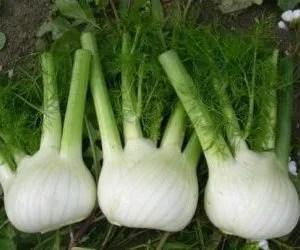 Coltivare finocchi - finocchi appena raccolti e puliti