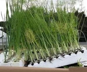 Calendario lunare-calendario della semina - finocchi in semenzaio