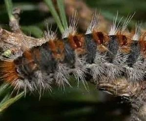 Larva di processionaria del pino