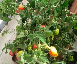 Coltivare peperoncini - varietà Habanero Orange