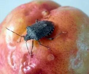 Danno su frutto ninfa cimice asiatica