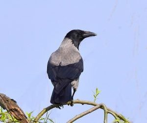 Come allontanare i piccioni gli uccelli- Cornacchia grigia