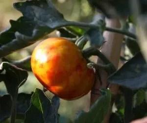 Necrosi estesa su pomodoro in fase di maturazione-Cimici verdi e cimici asiatiche