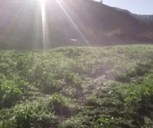 Semina e coltivazione delle rape - campo di cime di rapa al risveglio dopo la gelata