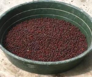 Semina e coltivazione delle rape - semi di broccoli di rapa