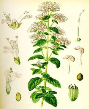 olio essenziale di origano-pianta officinale