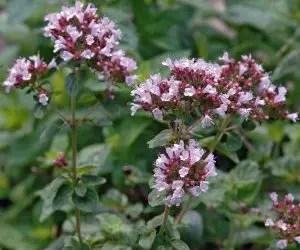 olio essenziale di origano-pianta officinale-fiori rosa