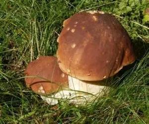 funghi porcini-boletus-edulis