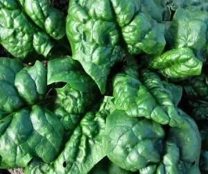 semina e coltivazione degli spinaci-spinaci a foglia larga