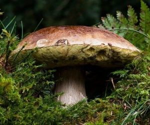 funghi porcini-porcino-dal-basso
