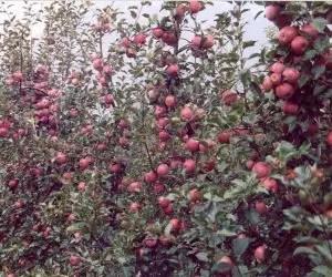 potatura-alberi di mele cariche-di-frutti