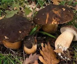 funghi porcino-porcino-nero-boletus-aereus