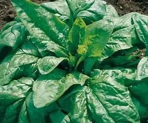 semina e coltivazione degli spinaci-varietà viraflay