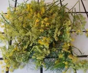 Il finocchio selvatico e la ricetta del liquore al finocchietto - fiori appena raccolti