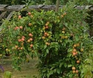 potatura-albero-di-mele