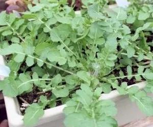 Come coltivare la rucola- rucola in vaso pronta per la raccolta