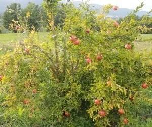 il liquore al melograno-albero carico di frutti