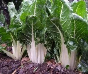 coltivare-la-bietola-da-coste-voluminosa