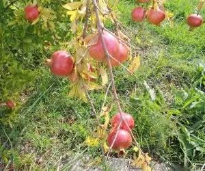 il succo di melograno-coltivazione del melograno-primi frutti maturi