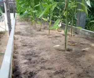 teli di juta per pacciamatura biodegradabile-orto-risultato a 2 mesi e mezzo dal trapiantoteli di juta per pacciamatura biodegradabile-orto-risultato a 2 mesi e mezzo dal trapianto