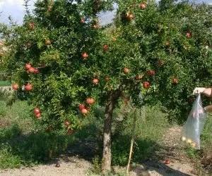 il succo di melograno-coltivazione del melograno con comportamento arboreo
