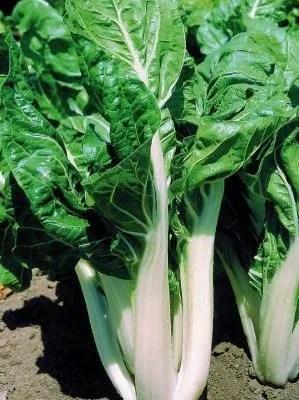 coltivare-la-bietola-costa-bianca