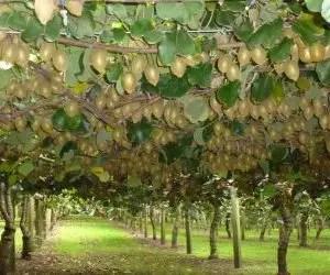 Coltivare pianta di kiwi