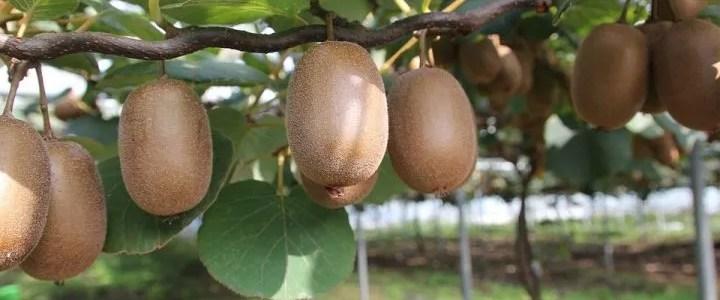 Coltivazione del kiwi