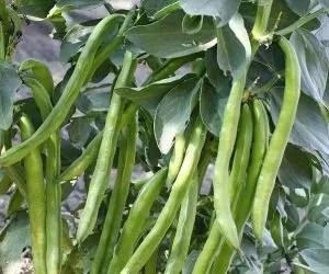 Coltivazione delle fave superlunghe