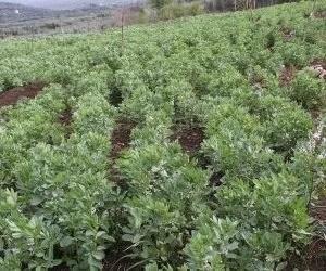 Semina delle fave in campo