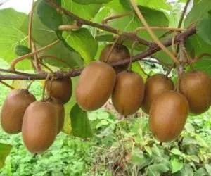 Frutto del kiwi
