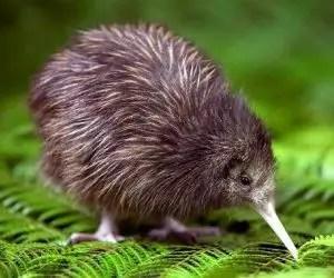 Il kiwi, uccello neozelandese
