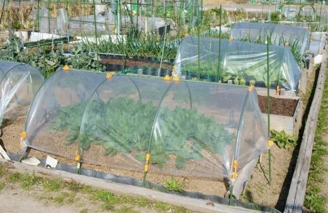 Coltivazione di scarola riccia protetta dal gelo