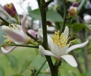 Fiore della pianta di limone