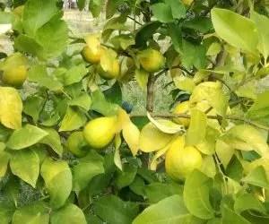 Albero di limone dalle foglie ingiallite