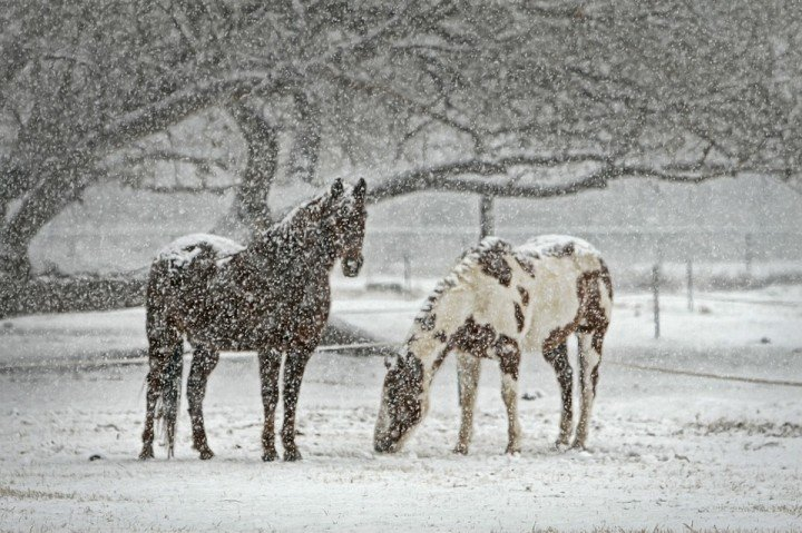 Cavalli quando nevica