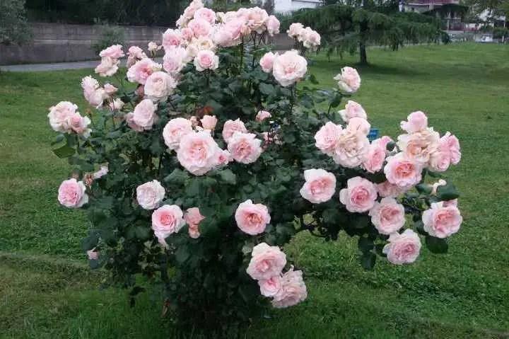 La potatura delle rose a cespuglio