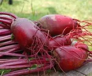 Rapa rossa coltivazione e semina varietà cilindrica