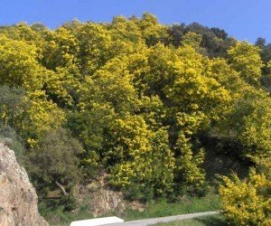 Scarpata protetta da alberi di mimosa