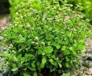 Arbusto di maggiorana